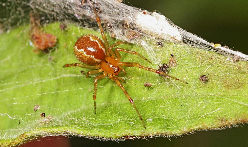Anelosimus Studiosus spider