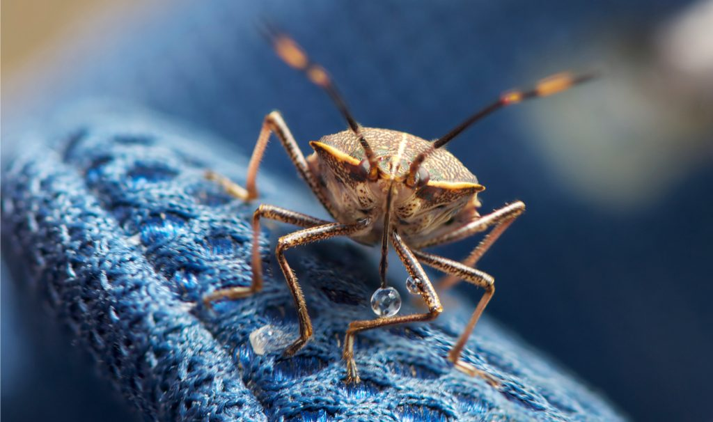 Stink bug sightings are on the rise. In winter, they tend to move indoors to wait out the cold weather. Photo by John Slaney/Flickr