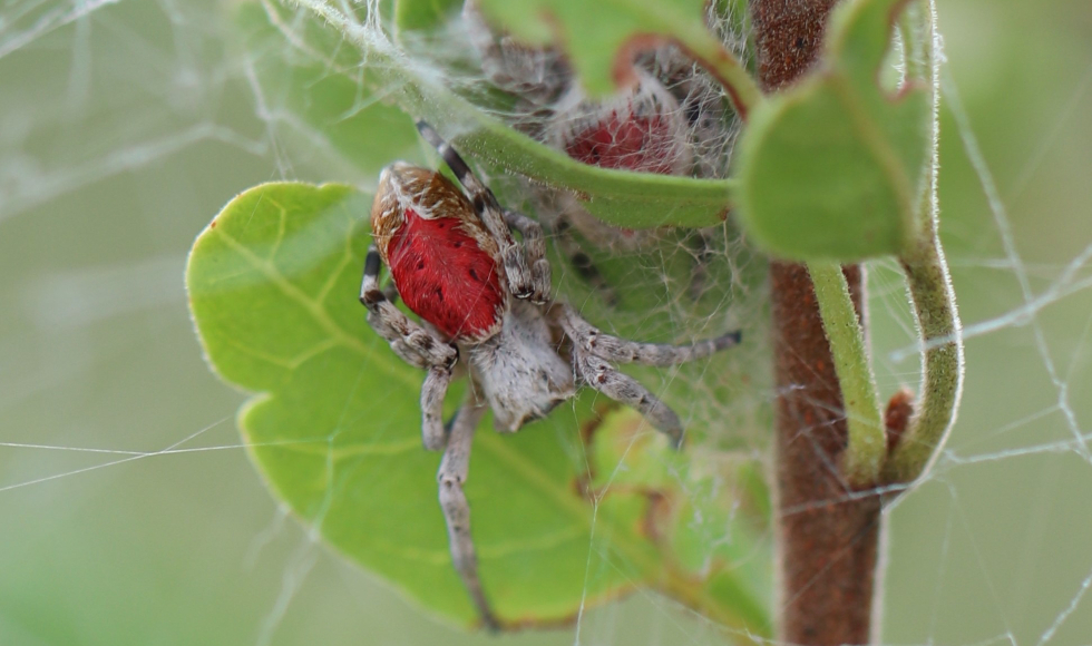 A close-up of a spider with a red abdomen on a leaf