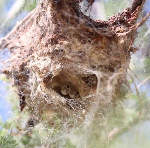 A spider colony hanging from the branches of a tree