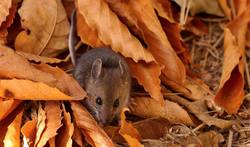 a grey-brown mouse peeping out of a pile of orange leaves