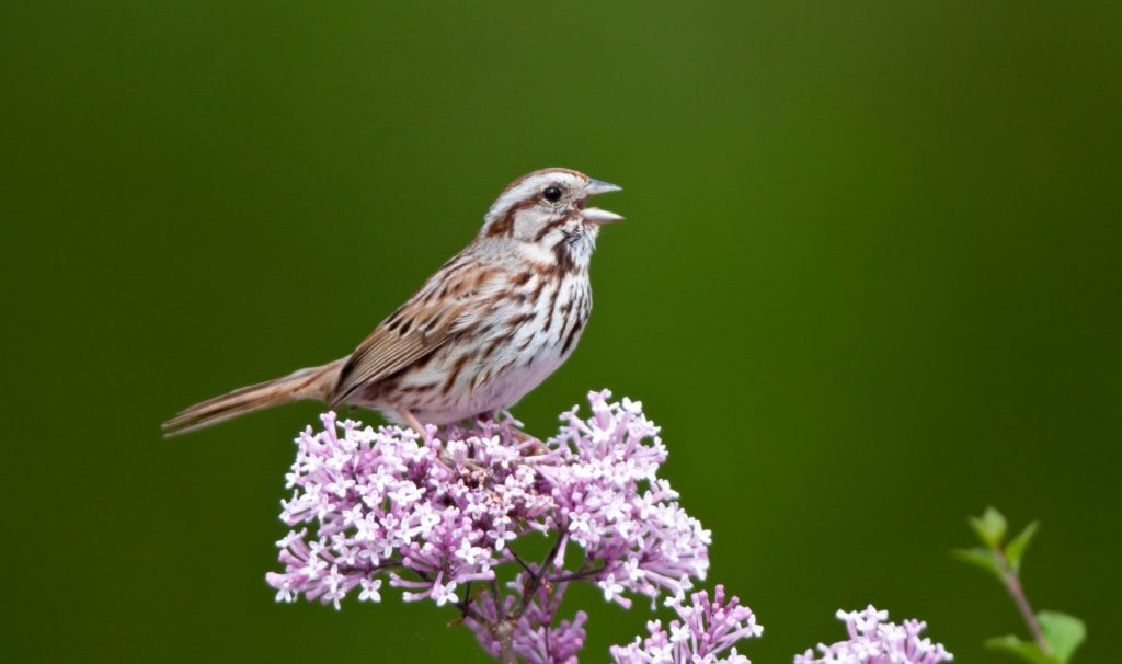 A closeup of a small brown bird perched on blossoms against a green backdrop